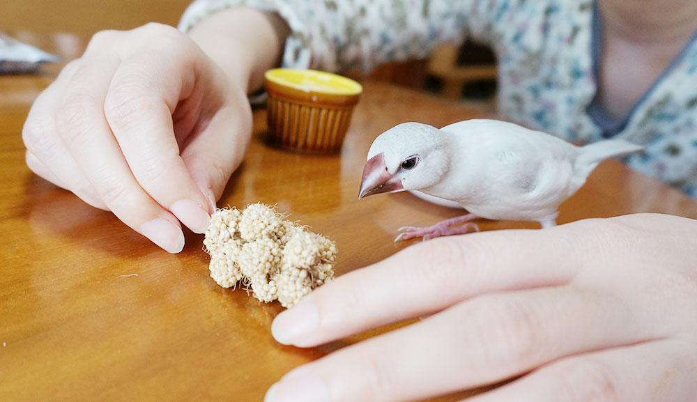 文鳥のひとり餌