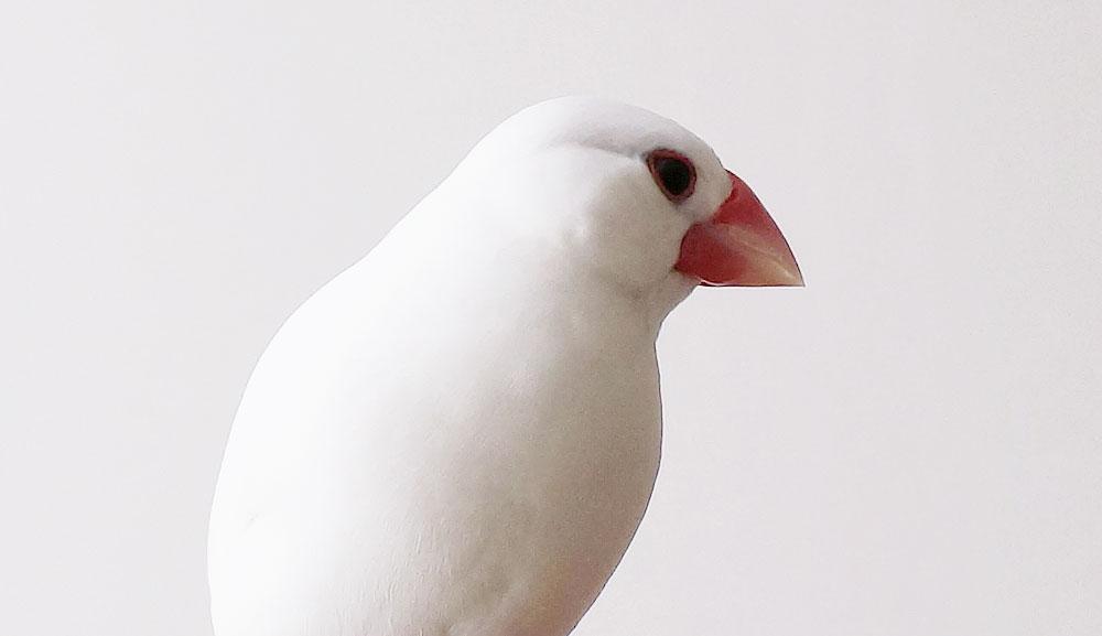 文鳥の知能