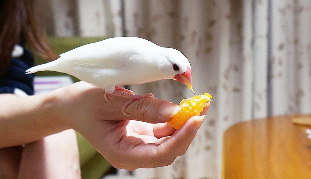 文鳥が食べられる果物と食べられない果物