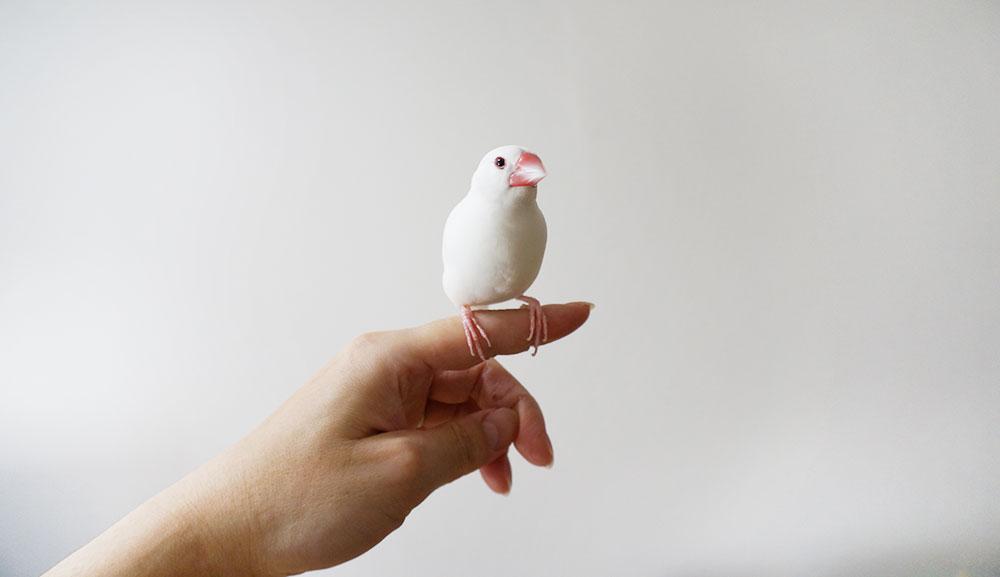 文鳥のトリセツ