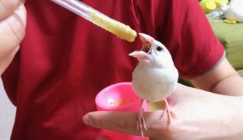 文鳥の雛の挿餌