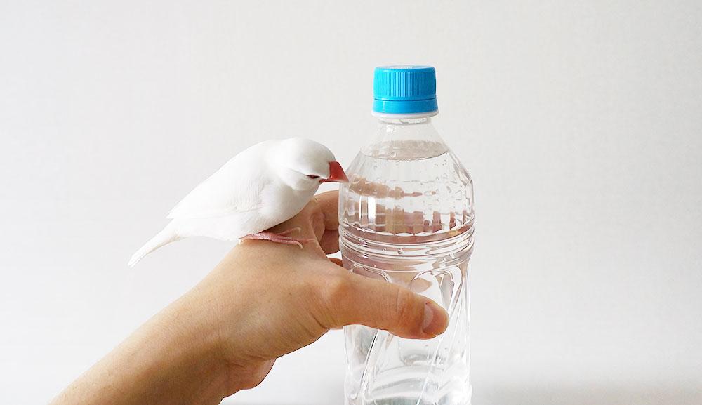 文鳥の飲み水