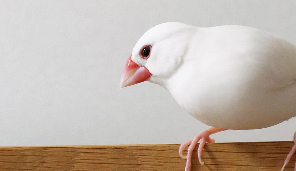 文鳥の視力