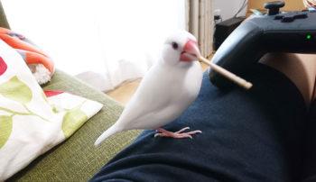 文鳥の学習期