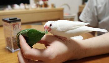文鳥が食べられる野菜と食べられない野菜