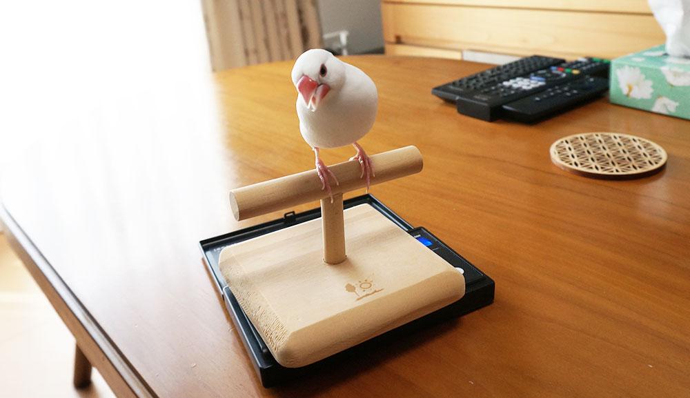 文鳥の体重測定