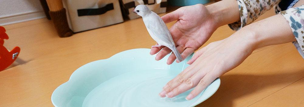 文鳥の水浴び 手順1