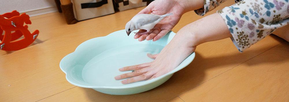 文鳥の水浴び 手順2