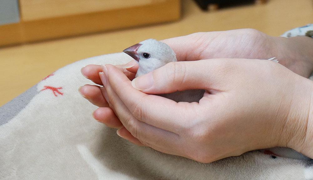 文鳥のコクシジウム症の治療記録