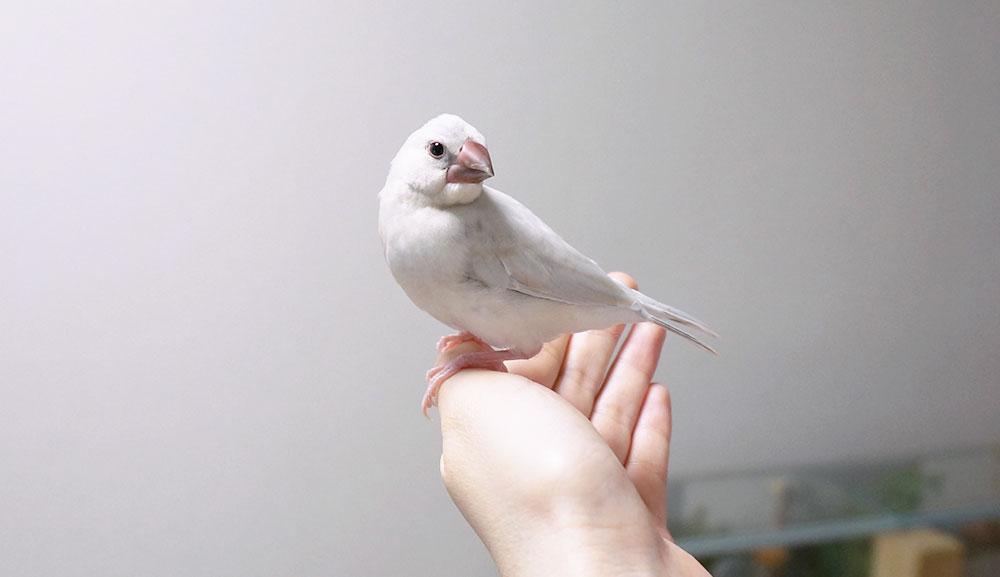 文鳥の性別