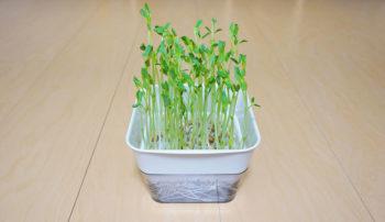 豆苗の水耕栽培
