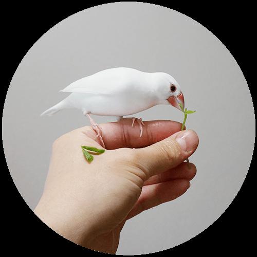 豆苗を食べる文鳥