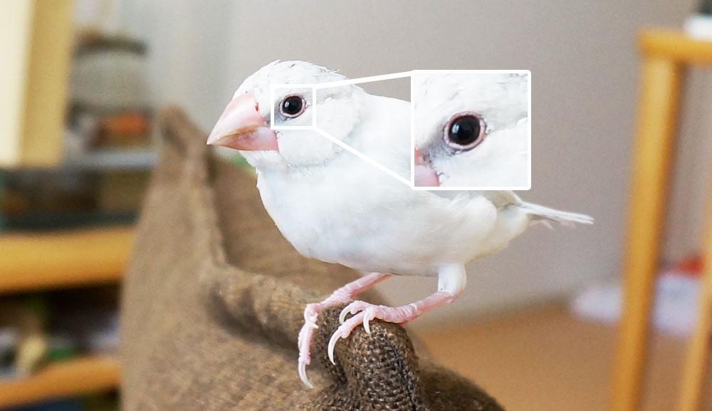 文鳥の目に現れる病気の症状