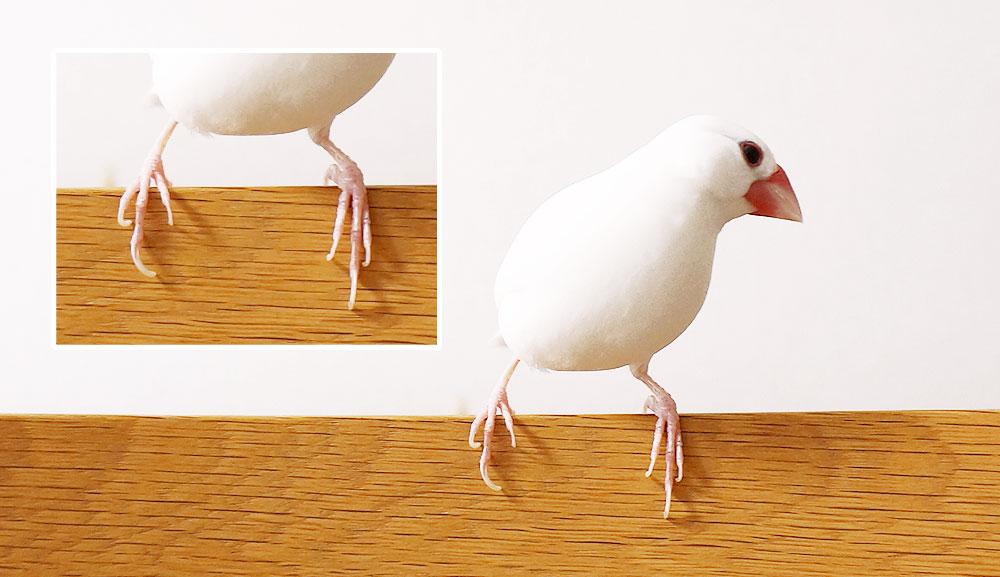 文鳥の脚に現れる病気の症状