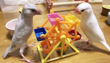 文鳥の2羽飼い