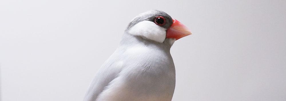 オスのシルバー文鳥