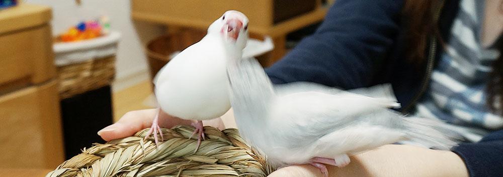 文鳥の2羽目をお迎えしたときの喧嘩