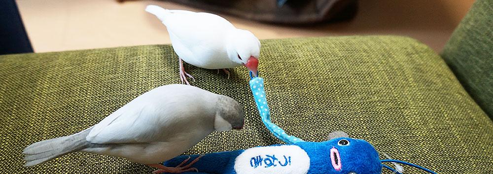 2羽の文鳥が一緒に遊ぶ