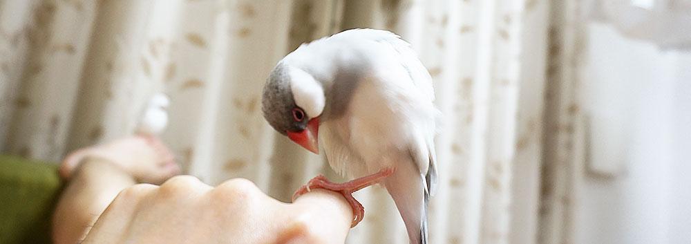 自分の足を気にする文鳥