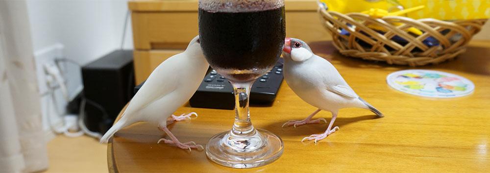 コップの水滴を飲む文鳥