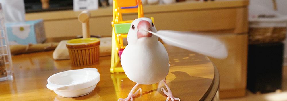 自分の羽で遊ぶ文鳥