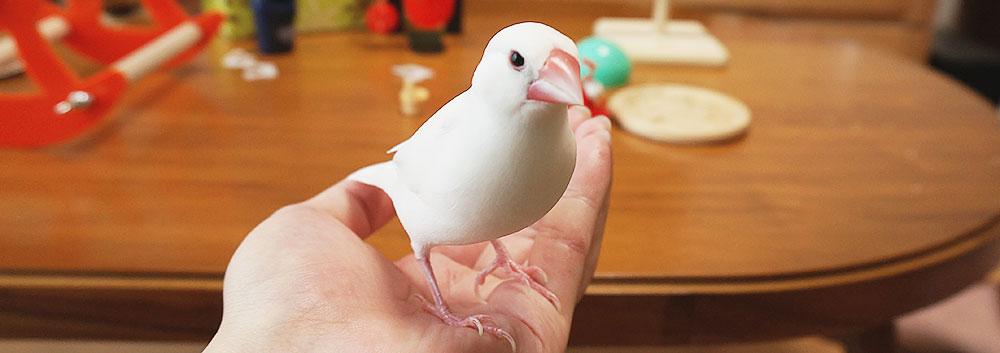 手乗り文鳥
