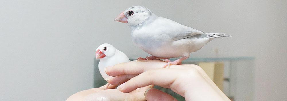 文鳥のペア