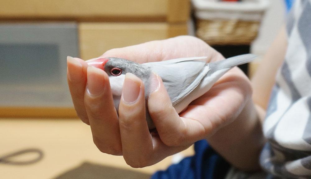 手の中で甘える文鳥