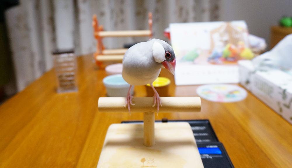 体重を計る文鳥