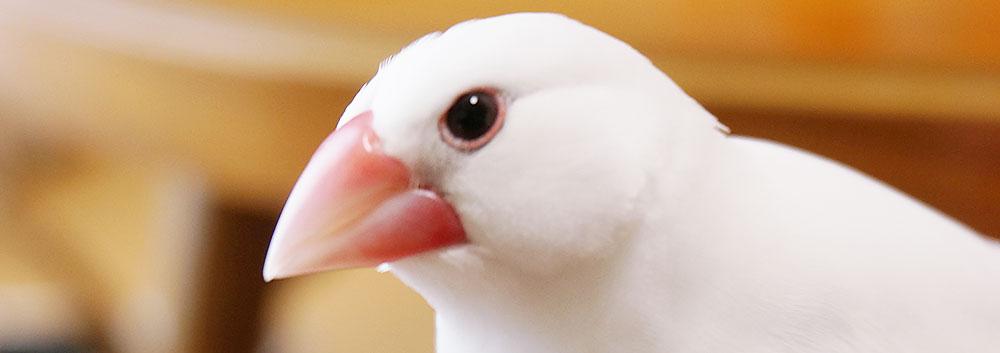 目を開ける文鳥