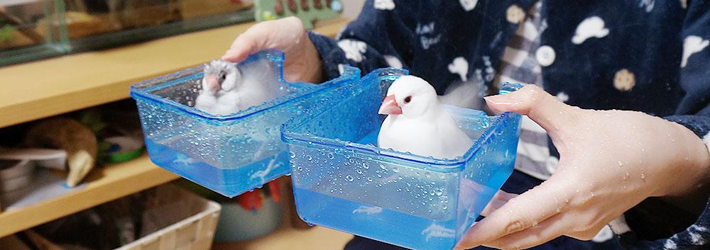 文鳥の水浴び